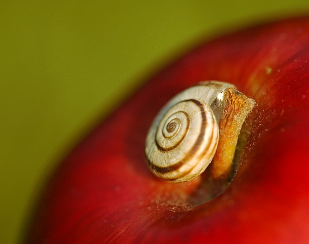 The snail and the apple