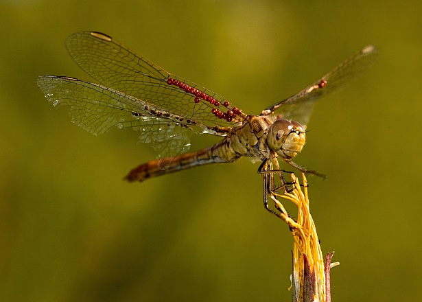Dragonfly with passangers