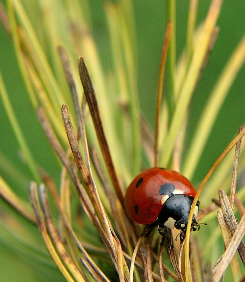 Ladybug - The explorer