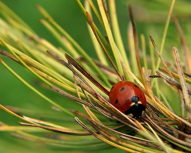 Ladybug - The shy