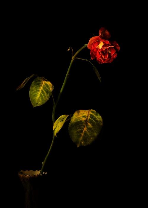 Lightpainted rose