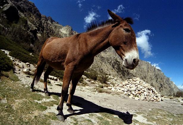 Mule #2