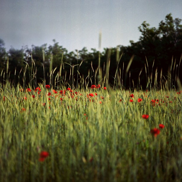 More poppies || Bronica SQ-A | Zenzanon-S 150mm F/3.5