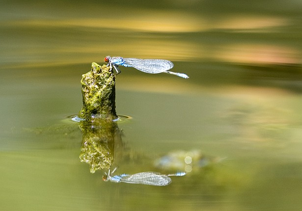 Damselfly and reflections || Nikon D70 | 105mm F/2.8 D | 1/400 sec | F/4.5 | ISO 200
