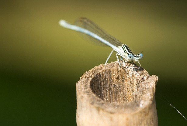 Common blue damselfly #2 || Nikon D70 | 105mm F/2.8 D | 1/320 | F/5.6 | ISO 200