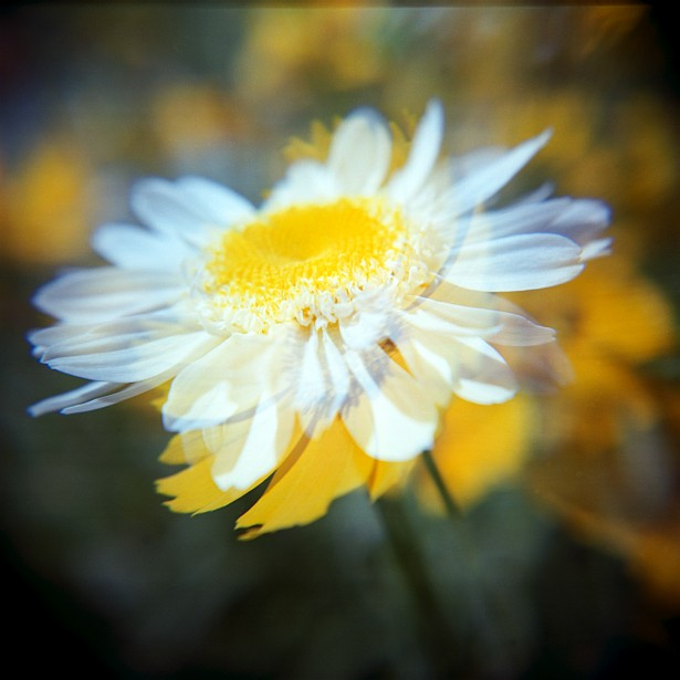 White and yellow || Holga | Fuji NPS 160 | Macro Close-up +10 Lens