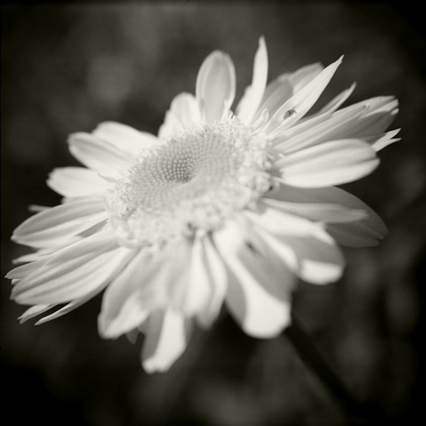Three years || Holga | Fuji NPS 160 (converted to B&W) | Macro Close-up +10 Lens