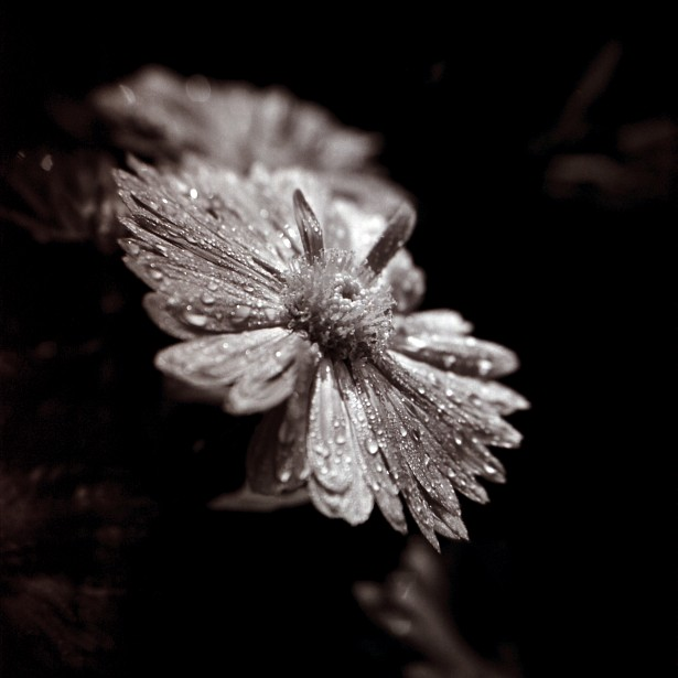 November rain || Holga | Kodak BW400CN | Macro Close-up +10 Lens