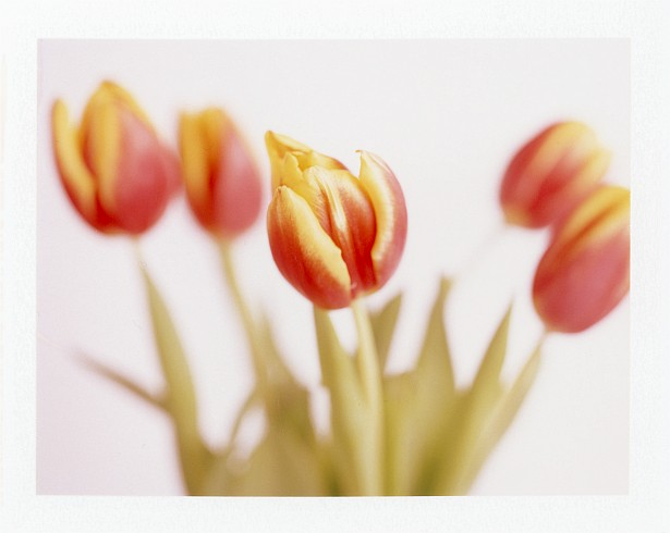 Multi-purpose Valentine Day's Flowers || Graflex Speed Graphic with Fuji PA-145 holder | Graflex Optar 135mm | Fuji FP-100C