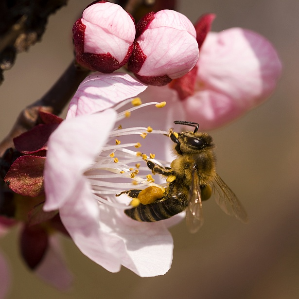 Busy bee || Nikon D300 | 105mm F/2.8 D@105mm | 1/400 sec | F/5 | ISO 200