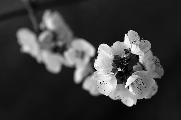 In bloom    Nikon D300   105mm F/2.8 D@105mm   1/500 sec   F/4.5   ISO 200