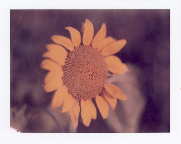 The missing petal || Graflex Speed Graphic with Fuji PA-145 holder | Kodak Aero Ektar 178mm | Polaroid ID-UV (expired)