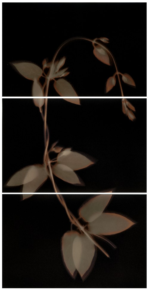 Lumen print #6