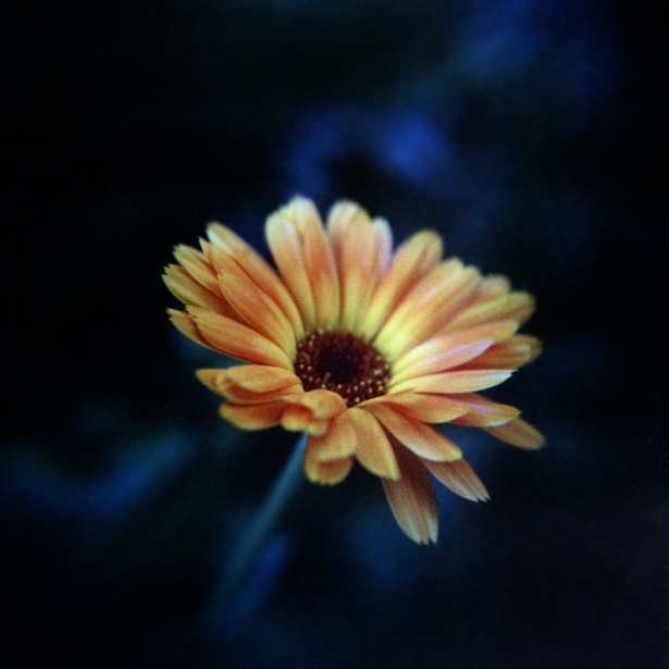Out of the blue || Holga | Fuji NPZ 800 | ISO 800 | Macro Close-up +10 Lens