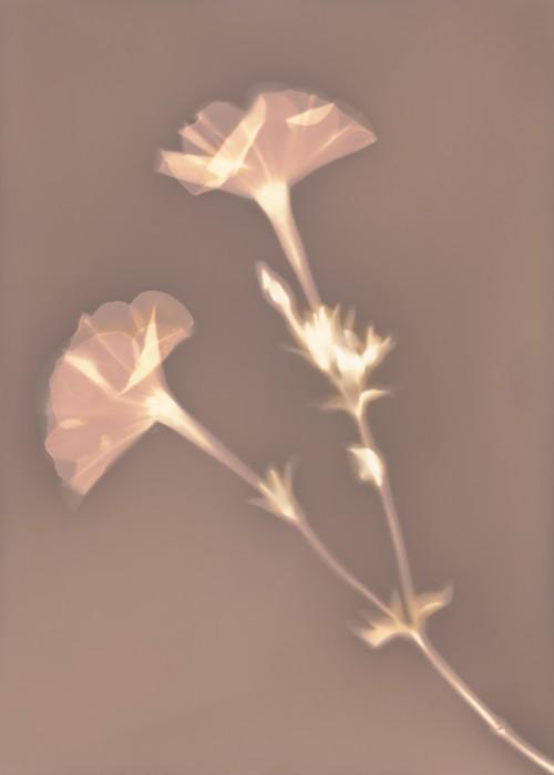 Lumen print #8 || Lumen print | Forte photo paper | 13 x 18 cm | 70 minutes exposure