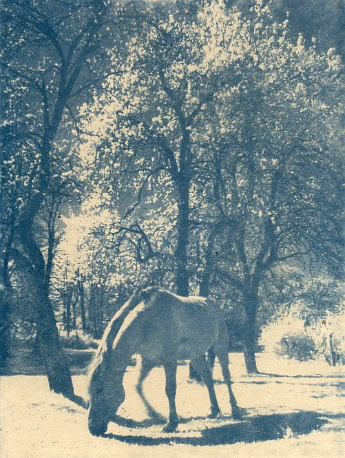 White horse without the prince (cyanotype version)