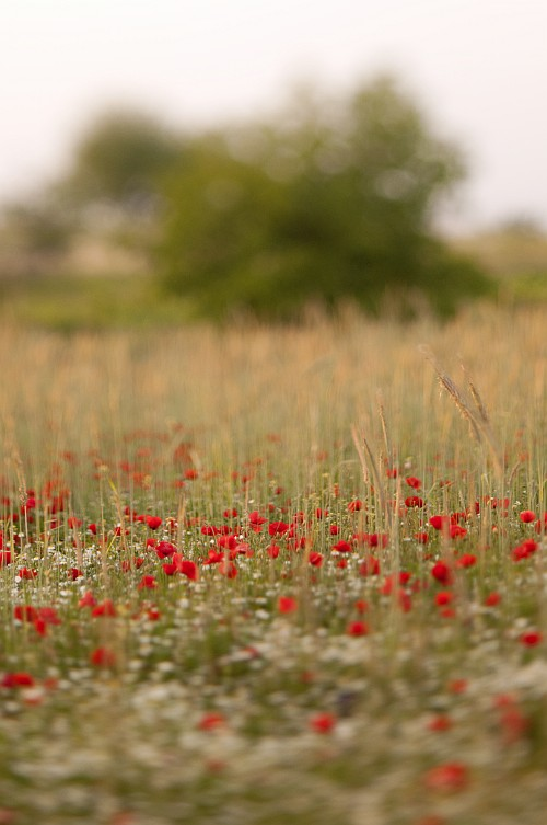Poppies everywhere #1 || Nikon D300 | Homemade tilt-shift lens