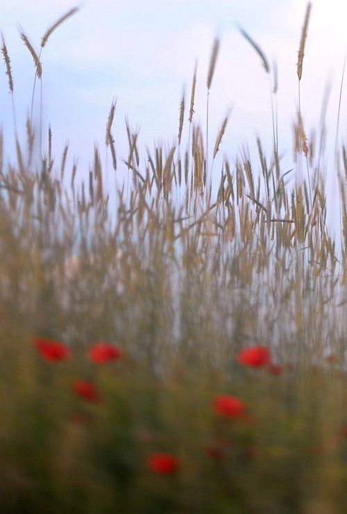 Poppies everywhere #2 || Nikon D300 | Homemade tilt-shift lens