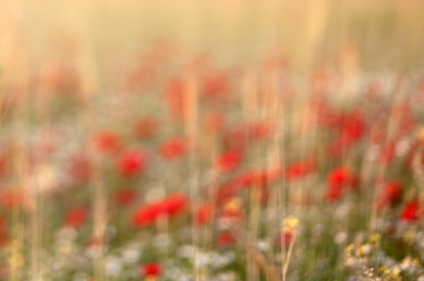 Poppies everywhere #3 || Nikon D300 | Homemade tilt-shift lens